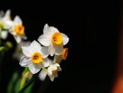 洁白的水仙花图片_11张