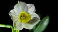 白色水仙花图片_11张