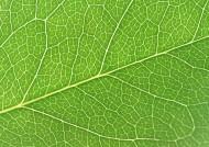 樹葉經脈圖片_27張