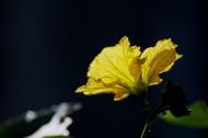 黃色絲瓜花圖片_7張