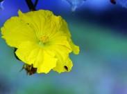黄色丝瓜花图片_10张