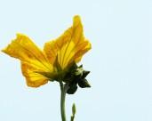 黃色絲瓜花圖片_8張