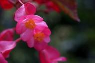 红色的四季海棠图片_13张