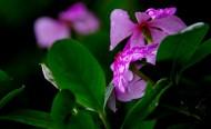 四季海棠花卉图片_7张