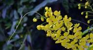 黄色槐花图片_7张