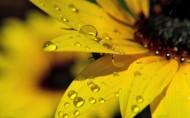 金黃色向日葵圖片_7張