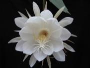 白色的曇花圖片_10張