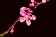 粉白色桃花图片_8张