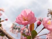 粉色的桃花图片_11张