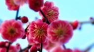 春季唯美桃花图片_12张