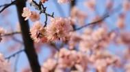 春季盛开的桃花图片_11张
