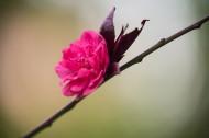 春风里盛开的桃花图片_13张
