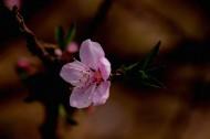粉红色桃花图片_12张