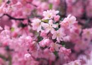 桃花图片_14张