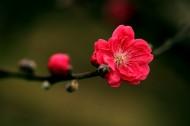 艳丽的桃花图片_6张