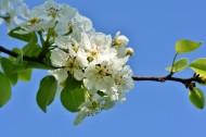 盛開的蘋果花圖片_9張