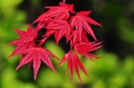 紅色楓葉圖片_14張