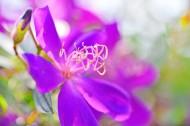 巴西野牡丹花卉图片_10张