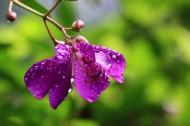 紫花野牡丹图片_11张