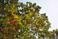 鐵冬青植物圖片_2張