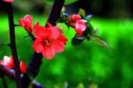鲜艳美丽的贴梗海棠花卉图片_10张