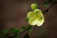 綠色貼梗海棠圖片_12張