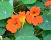橙色旱金莲图片_13张