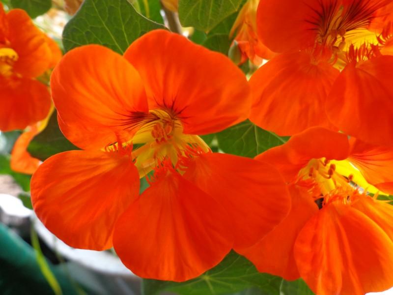 点击大图看下一张:旱金莲花卉图片