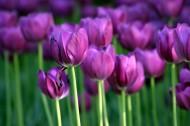 紫色郁金香图片_22张
