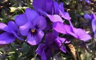 紫色三色堇图片_8张