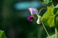 豌豆花圖片_8張