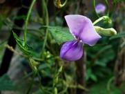 紫色豌豆花圖片_11張