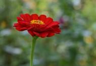 红色和紫色的万寿菊图片_8张