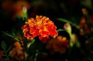 橙色万寿菊图片_12张