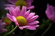 微距雏菊图片_10张