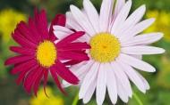 唯美的雏菊图片_10张