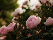 唯美的蔷薇花图片_7张