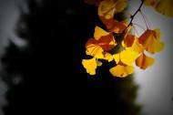 唯美深秋树叶图片_8张