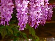 秀丽的紫藤花图片_17张