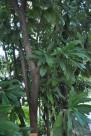 五桠果植物图片_1张