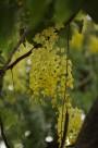 香腸樹花圖片_9張