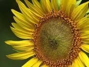 金黄色的向日葵图片_10张
