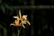 象牙虎頭蘭花卉圖片_8張