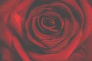 鲜红的玫瑰花图片_15张