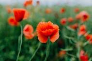 一片鮮紅的罌粟花圖片_12張
