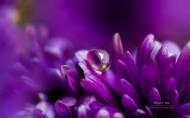 鲜花上的露珠图片_13张