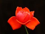 艳丽红玫瑰图片_8张