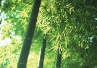 夏日的竹林图片_17张