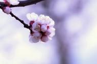 白色杏花图片_10张