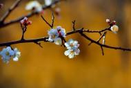 白色的杏花图片_18张
